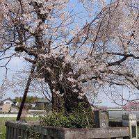 桜追っかけ一人旅(22) 下野市国分寺の蓮華寺裏 親鸞手植えの桜(樹齢800年)