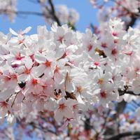 ◇京都 花街巡り~桜と艶を競う、芸舞妓の春~【3】2日目前半・八坂神社と円山公園編◇