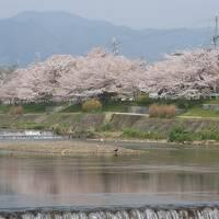 京の桜めぐりーーー上賀茂・半木の道・植物園・平安神宮