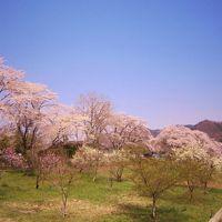 日本さくら名所100選 長瀞の桜 〜青空に映える桜を見上げて〜(前編)
