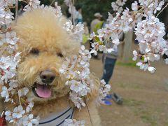 春爛漫だよ、しょーきちさん、京の桜めぐり- 平安神宮・妙心寺・京都御苑・・