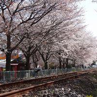 桜追っかけ一人旅(69) 真岡市 真岡鉄道線の桜並木