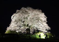 5度目の逢瀬は漆黒に浮かぶ醍醐桜、今年は2夜連続で通いました。