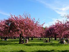 暖冬だったのに寒い春 でもパリの桜は満開です / Ile de France