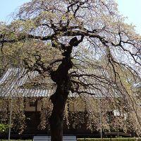 桜追っかけ一人旅(91) 常総市 安養寺の称名桜(樹齢300年)