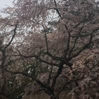 吉野山から京都御所・大阪造幣局