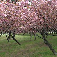 浜寺公園の八重桜