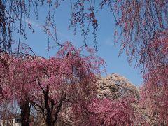 ゴージャスなピンク色の競演・・・しだれ桜の園 **榴岡(つつじがおか)公園**