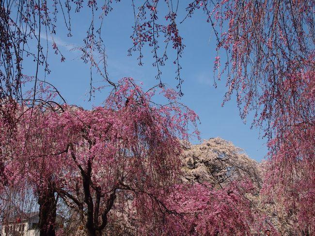 仙台市民に、桜の名所は?と尋ねると、西公園や榴岡公園という答えが返ってくることが多い。<br /><br />榴岡公園は枝垂れ桜・・・という情報を耳にして、ソメイヨシノばかりとなりがちなお花見の中、枝垂れ桜メインって新鮮!と思い、今年は、榴岡公園の桜がどんなものか見に行こうと決めていた。<br /><br />13日に、一目千本桜で7kmも歩いてしまい、クタクタで翌日はさすがに一歩も外出する気分になれず・・・今日15日になってもまだグッタリ気味であるが、仙台エリアでは、もう満開終盤に入ってしまっているので、お天気が崩れないうちに行かないと・・・。<br /><br />ということで、本日15日、榴岡公園に出かけてみた。<br /><br />想像以上に枝垂れ桜がたくさん咲き誇り、かなり華やかな桜の園!!なるほど〜〜・・・仙台市民が名所と言う理由がよくわかった。<br /><br />また、旧陸軍歩兵第四連隊兵舎の跡地が公園の一部となっており(昭和52年に公園拡張・整備の際に、公園の一部として組み入れられた)、現在は、兵舎1棟だけが残されている。当時の現存する宮城県内最古の洋風木造建築ということなので、こちらも併せて見学してきた。