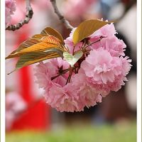 Solitary Journey [1367] 満開!八重桜~咲き満ちて こぼるる花も なかりけり<造幣局広島支局'花のまわりみち'開催>広島市佐伯区