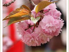 Solitary Journey[1367]満開!八重桜~咲き満ちてこぼるる花もなかりけり♪<造幣局広島支局「花のまわりみち」>広島市佐伯区