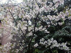 ′14 我が家の八重桜...見納め?!