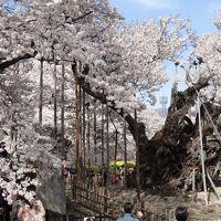 2014年 桜旅 其の壱 ~山高神代桜と高遠の桜~