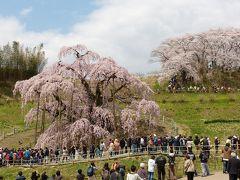 桜さくら 三春滝桜