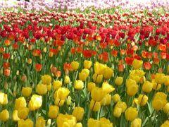 春の横浜ぶらり♪ Vol8(第2日目午前) ☆横浜:素晴らしいチューリップ!「横浜公園」♪