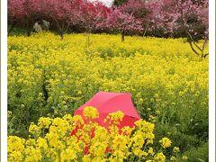 Solitary Journey[1369]まさに桃源郷!菊桃が1000本。他に菜の花・白桃・花桃などが…<ラ・スカイファーム>広島県世羅町