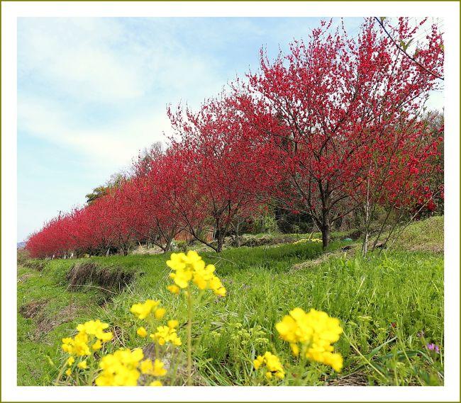 ■天国に一番近い里・川角(かいずみ)集落/島根県中南部邑南町<br /><br /> 天国に一番近い里、川角集落の花桃まつりが4/20日(日)から開催されました。<br /> 川角集落では、6年前から、耕作放棄地の棚田に花桃を植える事業に取組まれて、桃源郷づくりをされています。<br /> 地域住民が高齢者ばかりであり、標高も高い事から、通称天国に一番近い里と言われています。<br /> 川角(かいずみ)集落は島根県中南部邑南町に位置し、南は広島県安芸高田市・北広島町、東は広島県三次市に接する中国山地の県境の集落です。<br /> 標高350〜450mと高低差がある傾斜地に8世帯13名(平成26年)平均年齢約80歳が暮らす限界集落です。<br /> そこは多様な地形に囲まれた棚田は昭和の原風景を残しています。<br /> 昭和30年代頃は30戸約100人が暮らしていたそうですが、現在世帯数は減り、空き家や耕作放棄地が目立つようになっています。<br /> 「このままでは集落がなくなってしまう。私たちが門戸を開かなければ」と平成18年集落区長の日高忠正氏が中心となり、耕作放棄された棚田に花桃の植樹をはじめました。<br /> その後、花桃が美しく開花し見頃となる4月下旬には「花桃まつり」を平成24年より開催しています。<br /> 昨年はテレビで紹介されたこともあり、約1200人の行楽客で賑わいました。<br /><br />▼川角(かいずみ)集落 * 花桃まつり *<br /> 「美しい川角集落にしたい」という住民の想いから花桃を植えはじめ、現在は約1600本もの苗が育ち、毎年4月になると赤・白・紅白・桃色と色とりどりの花桃が咲き揃い、黄色い菜の花と共に春の棚田集落を美しく彩ります。※(株)コダマサイエンスNEWSより引用<br /><br />【手記】<br /> 春〜秋の世羅高原はわたくしの大好きな土地のひとつです。この日は朝から小雨が降っていました。現地は雨模様でお客さんはまばら、貸し切り状態のお花見となりました。<br /> 菊桃の丘を満を喫したあと、世羅高原農場のチューリップの咲き具合も覗いてきたのですが、開花はまだまだ先のようでした。<br /> それではと言うことで、園内で知り合った方が、花桃天国「天国に一番近い里」川角集落(島根県邑智郡邑南町)へ行かれるようなので、時間も十分あるし、わたくしもトコトコと行って参りました。ここは初訪でした。川角=かいずみ と読むんですネ。<br /><br /><お花見ルート><br />・菊桃の丘 ラ・スカイファーム/広島県世羅郡世羅町<br />・せらワイナリー/広島県世羅郡世羅町<br />・花桃天国 天国に一番近い里・川角集落/島根県邑智郡邑南町<br />・シバザクラの里、乃美地区/広島県東広島市豊栄町<br /> この日の行動距離、約310kmの車旅でした。