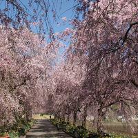 福知山の桜1 京都府緑化センター