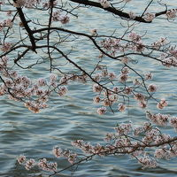 今年の桜はこれで見納め!福島桜撮影旅行(1)<Day1 五百淵公園>