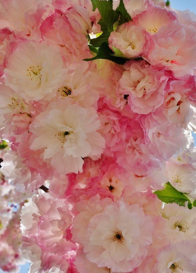 平成26年の「花のまわりみち」は、<br />4月16日から4月22日までの7日間開催されました。 <br /><br />昨年の八重桜に魅せられてからずーっと待ちわびていました・・・☆<br /><br />57品種、218本の八重桜がまわりみちにランダムに植えられています。<br />八重桜は品種によって花の形や色もピンクの濃淡が微妙に違って<br />グラデーションが見事で息をのむ美しさに感動の嵐でした!!!<br /><br />「はるばる、東京から夜行バスで駆けつけました!」と、<br />いう方もいらして、相変わらず今年も大盛況でした!<br /><br />日没後にぼんぼりと投光器でライトアップされた夜桜は<br />幻想的で別世界に迷い込んだように魅惑的でした・・・★<br /><br /><br />■2013年度の花のまわりみち【造幣局広島支局】<br />豪華で優雅な八重桜に酔いしれて・・・<br /><br />http://4travel.jp/traveler/5812441/album/10769982/<br /><br />こちらに花の名前は詳しく記載していますのでご覧いただければ嬉しいです♪<br /><br />遅くなりましたのでとりあえ簡単なコメントでUPしますのでよろしくお願いします。<br /><br /><br />■広島の旅行記<br />さくらまつり☆広島市植物公園は春爛漫!百花繚乱!!!<br />http://4travel.jp/traveler/5812441/album/10765469/<br /><br />広島の庭園【縮景園】ライトアップ☆桜と桃が美の饗宴☆<br />http://4travel.jp/traveler/5812441/album/10761852/<br /><br />広島の庭園【縮景園】梅いちりん一輪ほどの暖かさ<br />http://4travel.jp/traveler/5812441/album/10755730/<br /><br />日本三景・世界遺産の【宮島】海に浮かぶ厳島神社と秋色に染まる紅葉谷公園<br />http://4travel.jp/traveler/5812441/album/10727320/<br /><br />