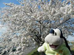 グーちゃん、伊東へ春の花見合宿に行く!(まずは鴨居の桜を視察!編)