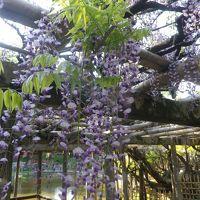 越谷・久伊豆神社で藤とつつじを見てきました