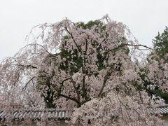 遅咲きの桜を愛でる旅! 1日目: 醍醐の花見で知られる醍醐寺へ! たまたま太閤行列に遭遇し、ものすごい人混みに唖然...