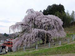 今年の桜は念願の三春滝桜