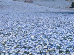 2014春 天まで青いネモフィラ&春色に鮮やかなチューリップ絨毯★国営ひたち海浜公園