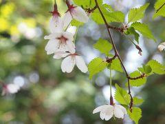 遅めの桜を見ながら田貫湖から白糸の滝まで(お山経由)