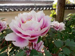 住吉神社の藤と薬師院の牡丹