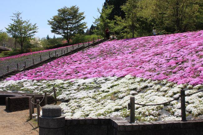 スパッシュランド白石へ初めて行って来ました。<br /><br />電話で芝桜の状況を聞いたところ、昨年から植え替えなどのため<br />一面。。。にはなっておりませんが、花は見頃です。<br /><br />駐車場がいっぱいなら、スパッシュランド側にお止め頂いて橋を渡るといいですよ。<br /><br />と、聴きましたのでスパッシュランド側に止めました。<br /><br />橋。。と聞いたので行ってみたら。。(><;