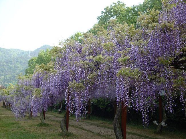 GWに日帰りドライブしてきました。<br /><br />岡山県の和気藤公園<br />広い園内に日本全国から集められた100種類・150本の藤が咲いていて、それは見事でした。<br /><br />駐車場は無料・入園料も大人300円というやさしさ!<br /><br />今年初めて行きましたが、来年はお弁当持参でピクニック気分も良いかなと思いました。<br /><br />開園時間は8時となっていますが、藤まつりの期間中は大型観光バスも来るので渋滞必至。<br /><br />写真を撮ることも考えると、人出の少ない朝早めの時間に到着するのがオススメです。<br /><br />