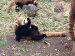 レッサーパンダ研究の旅〈11〉市川市動植物園