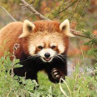 長野新幹線に乗って茶臼山動物園へ2014年のGW後半のレッサーパンダ詣(3)Red Panda 特集:屋外パンダは熟睡・風鈴ちゃん、フォトジェニック・サラちゃん、やんちゃなシンゲンくん、どっしりアジサイちゃんに、はじめましてタイチくん