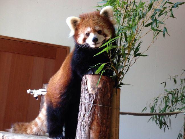 実家に帰るついでに、ロンくんにも会いたくて、そして飼育員の方ともお話したくて茶臼山動物園へ。<br />研究者もどき(笑)として、最後のレッサーパンダ訪問です。<br /><br /><br />今後のブログ→http://ailurus-fulgens-1825.dreamlog.jp