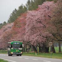 日本一の桜並木 二十間道路を訪ねて(北海道静内)