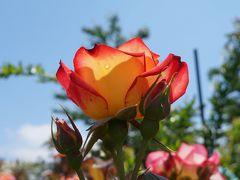 横浜イングリッシュガーデンの見事に咲いた満開の薔薇たち