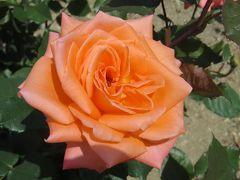 2014春、鶴舞公園の薔薇(3/10):5月16日(3):リドミル・ホワイト、オクラホマ、ブラスバンド
