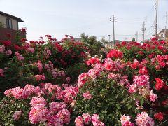 バラ満開♪無料のバラ園