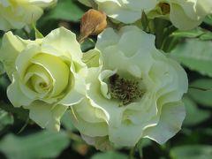 2014春、庄内緑地公園の薔薇(1/10):5月23日(1):緑光、琴音、チアガール、フリージア、ミラト、クッパー・ケニギン