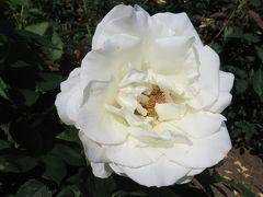 2014春、庄内緑地公園の薔薇(3/10):5月23日(3):ツル・ピース、スターダム、ホワイト・クリスマス、ゴールド・グロー、天津乙女、正雪