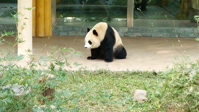 激から麺に挑戦した後は<br />ほのぼのとしたいねー(笑)<br /><br />中国と言えば大熊猫=パンダちゃん<br />パンダちゃんを見に動物園に向かう<br /><br />実は動物園大好き!<br />韓国でも動物園に良く行くのよね<br />(と猫カフェ。笑)<br /><br />でも<br />パンダへの道のりは遠かったーー(><)<br />