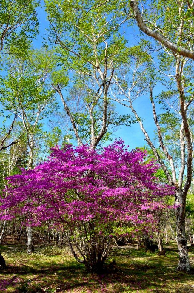 栃木県北部の高原山の東側中腹に広がる八方ヶ原は5~6月は、トウゴクミツバツツジ、アカヤシオ、シロヤシオ、ヤマツツジ、レンゲツツジが咲く高原です。5月下旬は、ヤマツツジ、レンゲツツジはまだ咲いておらず、アカヤシオはすでに花期が終わり、トウゴクミツバツツジとシロヤシオが見頃を迎えています。<br /> ツツジを見るだけでなく、久しぶりにトレッキングシューズを履き、大間々台→八海山神社→剣ヶ峰→大入道→小間々台→大間々台と約9kmのコースを5時間かけて、歩いてきました。標準的には4時間弱のコースだが、写真を撮りながら、また久しぶりのトレッキングなのでゆっくりしたペースでの歩行です。<br />2~3週間後には、大間々台のレンゲツツジ大群落が見頃になるはずなので、再度訪れる予定です。