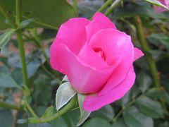 2014春、庄内緑地公園の薔薇(4/10):5月23日(4):マイナー・フェアー、カルト・ブランシュ、フリージア、ローズ・ヨコハマ、うらら