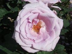 2014春、庄内緑地公園の薔薇(6/10):5月23日(6):ブライダル・ホワイト、宴、ブルー・ムーン、マチルダ、パスカリ