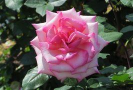 2014春、庄内緑地公園の薔薇(8/10):5月23日(8):プリンセス・ドゥ・モナコ、ジュビレ・デュ・フランス・ドゥ・モナコ、ダイアナ・プリンセス・オブ・ウェールズ