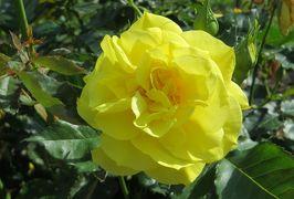 2014春、庄内緑地公園の薔薇(10/10):5月23日(10):フリージア、ブリリアント・ピンク・アイスバーグ、うらら、ミュージック