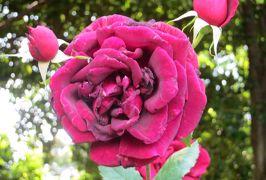 2014春、庄内緑地公園の薔薇(9/10):5月23日(9):アルテス75、ジョン・ウォータラー、マリアカラス、オクラホマ、パパメイアン
