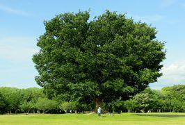 2014春、バラと新緑の庄内緑地公園(1/3):5月23日(1):バラ園のある景色、公園の大木、ケヤキ、クス
